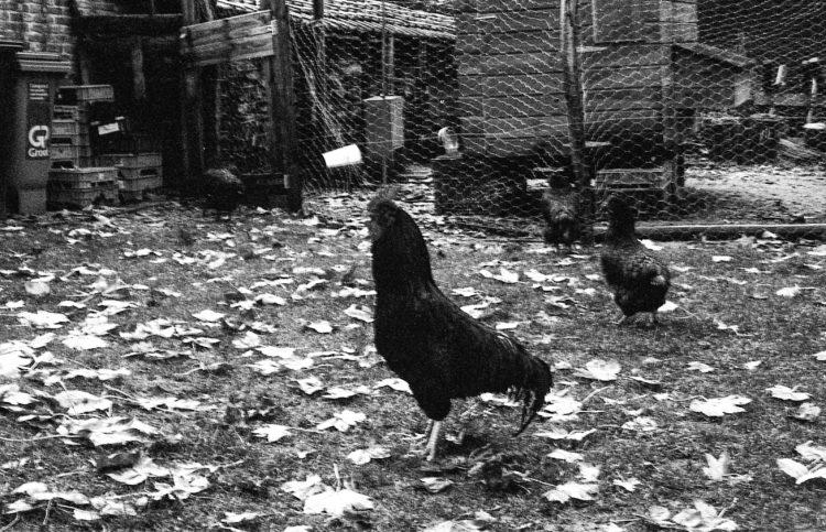 De kippen en de haan bij het Hof