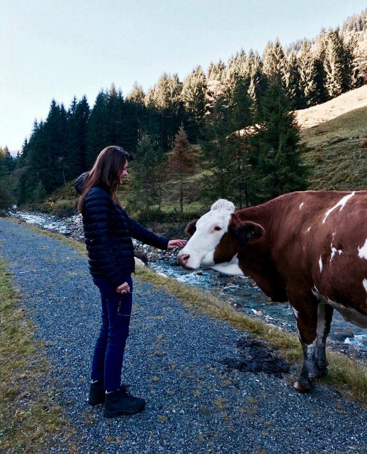 Brixental koeien Oostenrijkse Alpen